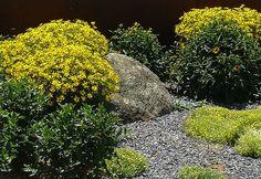 Azorella trifurcata, Sedum acre, Rudbeckia fulgida, Coreopsis verticillata