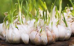 How To Grow Garlic In 3 Simple Steps  https://www.rodalesorganiclife.com/garden/trick-planting-healthy-garlic