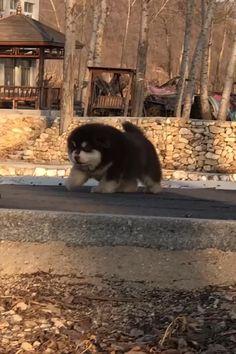 Alaskan Malamute, Dog Behavior, Cows, Husky, Grass, Yard, Puppies, Videos, Pretty