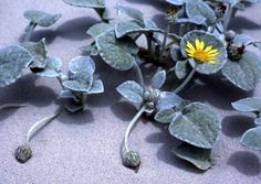 Sea Pumpkin - A common occupant of coastal foredunes which forms small hummocks. The hairs on its leaves are a means of reducing desiccation. Flowers daisy-like with a rim of pale yellow florets.