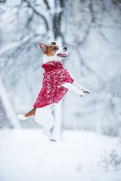 Jack Russell jumps in snow