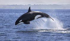 World Orca Day July 15