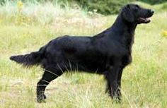 Credit for development of the Flat-coated Retriever is given to a sportsman, S. Puppy List, Choosing A Dog, Flat Coated Retriever, Puppy Training Tips, Dog Houses, Club, Puppies, Pets, Animals