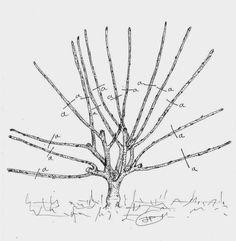 Les secrets de la taille et de la greffe des arbres fruitiers bio : Taille du…