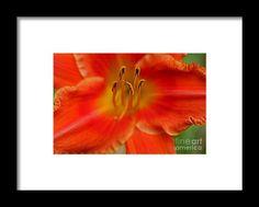 lily, stamen, macro, orange, flower, bloom, blossom, nature, garden, michiale, schneider, photography