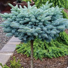 """St. Mary's Broom Blue Spruce. One of the most desirable of the dwarf blue spruces, with fine-textured foliage that starts out silvery blue in spring, then turns to steel blue in summer and keeps that clean, vibrant hue all winter. It grows very slowly into a dense bun shape, eventually 24"""" tall and twice as wide, nicely proportioned to its standard. Very low maintenance."""