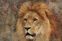 Lion - Ilmaisia kuvat Pixabayssa - 2