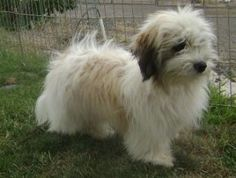 coton de tulear; looks like my baby when she was a puppy!