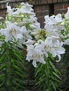 Lilium 'Casa Blanca' is a popular Oriental hybrid lily that features pure white flowers... #lilium #lilies #lily #plantopedia #FloweringPlant #flowers #FloweringPlants #plant #plants #flower #blooming #FlowersLover #FlowersLovers #FlowerGarden #WorldOfFlowers #WorldOfFloweringPlants #nature