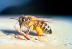 ~~ Venin d'Hyménoptère ~~ Apis Mellifera Scutellata (Abeille à miel d'Afrique - Abeille Tueuse)