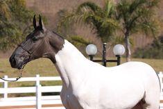 Kalifa da Barraca - Campolina stallion Most Beautiful Animals, Beautiful Horses, Arte Equina, Campolina, Horse Saddles, Western Saddles, American Saddlebred, Appaloosa Horses, Horse Drawings