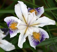 "Iris douglasiana ""Fancy Pants"". Wow. This iris is definitely wearing the fanciest of pants."