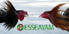 Kami sebagai salah satu agen judi sabung ayam online akan membahas tentang Ayam bangkok petarung asli jawara. Ayam bangkok memang sangat terkenal sekali didalam arena laga sabung ayam Rooster, Bangkok, Animals, Image, Art, Inspiration, Craft Art, Biblical Inspiration, Animaux
