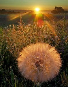 FLOWERS ~ DANDELIONS ● Dandelion Wishes ~