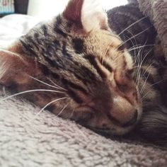 Sleep tight!  #cat #catsofinstagram #cats #catstagram #instacat #catlover #catoftheday #bengal #bengalcat #oz #ねこ #猫 #ねこ部 #ねこすたぐらむ #猫部