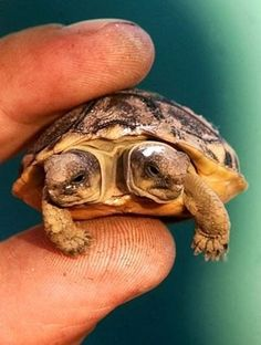 2-headed turtle