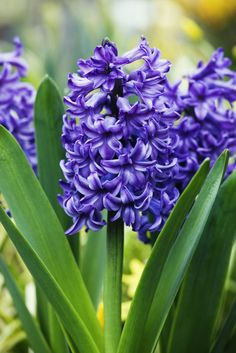 """Owing its origin to the myth of Apollo and Hyacinthus (the former accidentally killed the latter), the purple version of this bloom means """"please forgive me."""""""