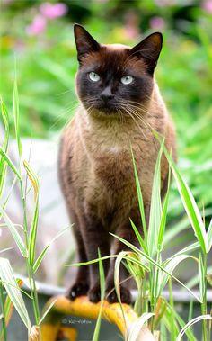 Burmese cat- I REALLY, REALLY want one
