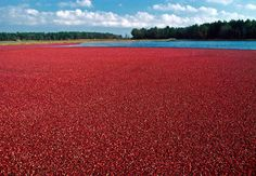Cape Cod cranberry harvest, Harwich MA