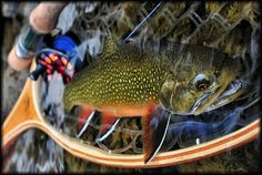 Pre-Release- Saw this on the boards. Amazing photo and colors of a beautiful brook trout.