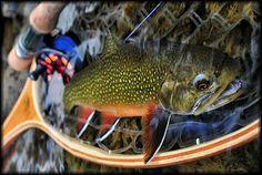beautiful brook trout.
