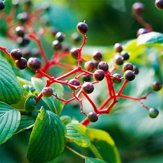 Pagoda Dogwood.   The Best Berry Plants for Birds  Invite flocks to your backyard by planting fruit-bearing trees, shrubs, and groundcovers in your landscape.