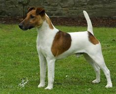 *** Fox Terrier - Smooth 15-20 lbs. Does not like to be left alone with nothing to do. Can be stubborn. If firm, consistent positive training is used, this terrier can excel in obedience.