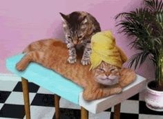 """""""Cat MassagePaws and Relax"""" by John Lund: Funny lol picture of one cat giving another a massage in a spa setting. The kitty receiving the therapy is laying on a massage table and there is a potted palm in the background. The Cat Massage Parlor Open M-F I Love Cats, Crazy Cats, Cute Cats, Funny Cats, Funny Animals, Cute Animals, Funniest Animals, Fun Funny, Silly Cats"""