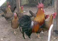 Click the link for 10 hacks pertaining to leghorn chicken hens Best Egg Laying Chickens, Raising Backyard Chickens, Keeping Chickens, Poultry Breeds, Leghorn Chickens, Chicken Feeders, Chicken Coops, Beautiful Chickens, Chicken Coop Designs
