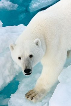 The polar bear is a bear native largely within the Arctic Circle encompassing the Arctic Ocean, its surrounding seas and surrounding land masses. It is the world's largest land carnivore and also the largest bear, together with the omnivorous Kodiak Bear, which is approximately the same size. A boar (adult male) weighs around 770–1,500 lb, while a sow (adult female) is about half that size.