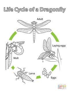Coloriage - Cycle de vie de la libellule. Catégories: Libellules. Coloriages gratuits à imprimer avec une variété de thèmes que vous pouvezimprimer et colorier.