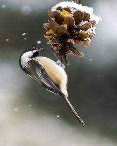 #Conservation #Nature #Outdoors #Wildlife #Chickadee #Bird #Hamilton #HCA