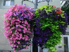 Million Bells and Sweet Potato Vine ~ So easy to grow