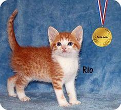 Ventura, CA - Domestic Shorthair. Meet Rio, a kitten for adoption…