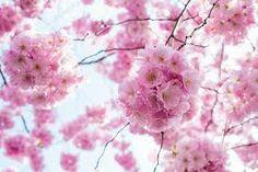 cherry blossom japan - Recherche Google