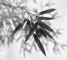 Monochrome Bamboo Foliage Photograph