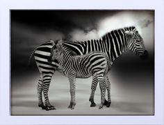 Quadro Decorativo em Preto e Branco Animais Zebras 44x34cm - Decore Pronto