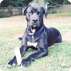 Dallas, GA - Labrador Retriever/Great Dane Mix. Meet George, a dog for adoption. http://www.adoptapet.com/pet/16146810-dallas-georgia-labrador-retriever-mix