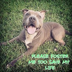 PLEASE HELP !!!!!!! Foster desperately needed to save #Diesel from Miami Dade Shelter since he has 24 hours left before being euthanized ..... He is a 3 year old Pibble boy who loves his squeaky toy, loves to play, knows simple commands like sit and stay and NEEDS TO BE SAVED !!!! Please share .... If you can #Foster or #Adopt this angel PLEASE ACT FAST !!!!!