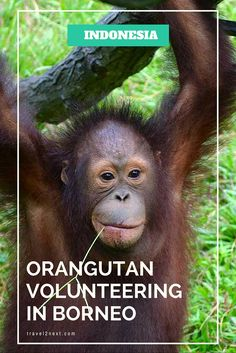 An exciting Indonesian Borneo volunteering adventure working with orangutans.
