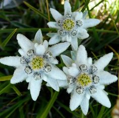 Edelweiss - a short story #1 — Steemit
