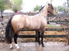 Criollo stallion Chusco Caballero Gentil