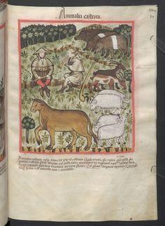 Cod. Ser. n. 2644, fol. 71r: Tacuinum sanitatis: Animalia castrata
