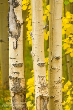 A close-up of three aspen trees with gold color in the background. Fine Art Photography Galleries, Landscape Photography, Nature Photography, Canvas Art Prints, Wall Prints, Birch Tree Art, Tree Canopy, Aspen Trees, Tree Quilt