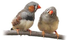 Keeping Zebra Finches As Pets cage birds regular exercise outside pet care trust