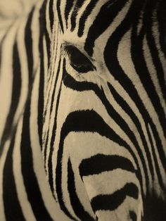 zebras. (another one I want framed to put on my wall!)