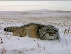 Pallas's cat (Otocolobus manul), also called the manul, is a small wild cat having a broad but patchy distribution in the grasslands and montane steppe of Central Asia.