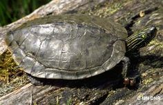 Northern Map Turtle / Location: a few rivers in Wisconsin
