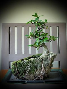 Thanks nature's Hobby : Bonsai บอนไซ shohin mame miniature
