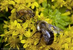 Honey_Bees_Bumble_Bees http://www.myrmecos.net/2011/10/11/how-to-tell-the-difference-between-honey-bees-and-bumble-bees/